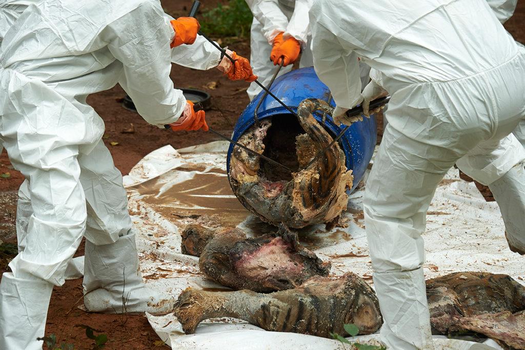 dead temple tigers carcasses
