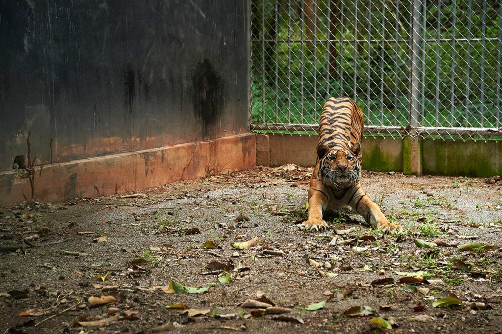 temple tigers at Khao Prathapchang center