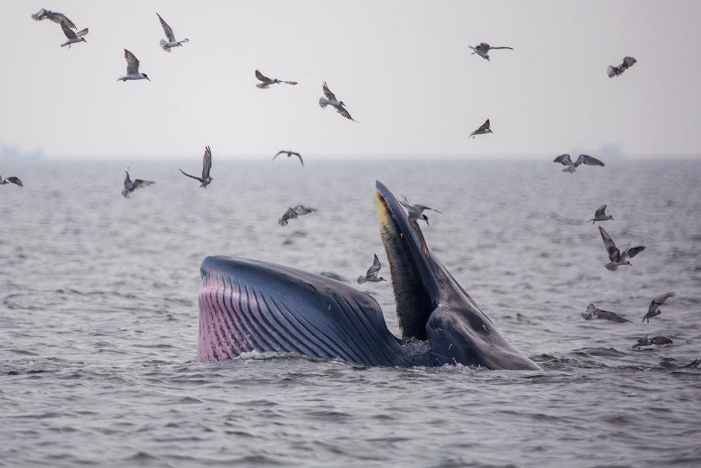 Bride's whales