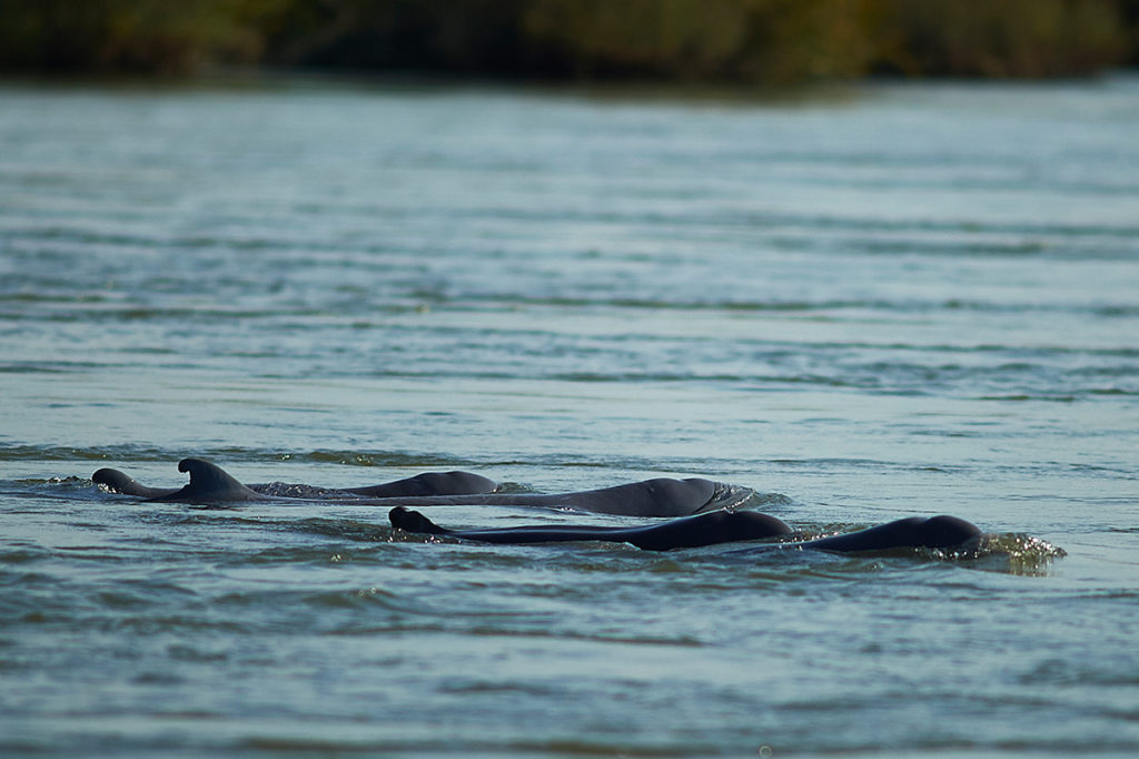 Irrawaddy Dolphins in the Mekong River, Kratie, Cambodia